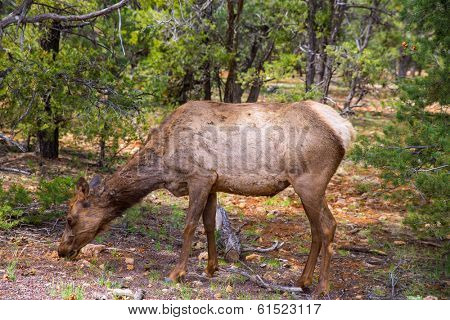 Elk Deer grazing in Arizona Grand Canyon National Park USA poster