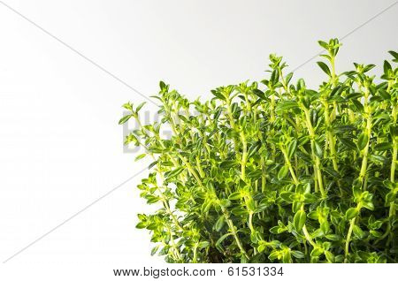 Fresh winter savory (Satureja montana) on white background. poster