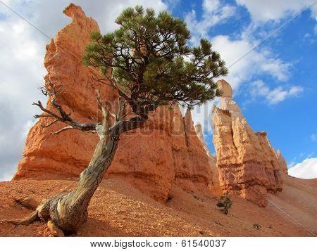 Bristlecone Pine, Bryce Canyon National Park