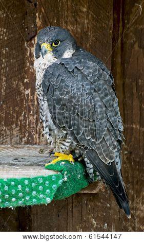 The Peregrine Falcon (falco Peregrinus) On Perch