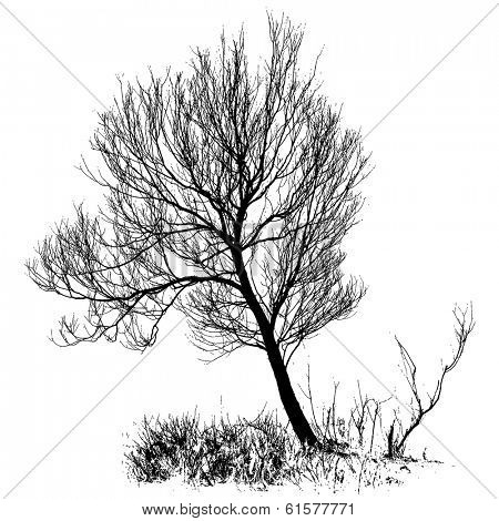 Willow tree with bare branches, full size isolated silhouette, vector