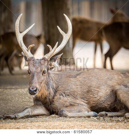 Old Eld Deer
