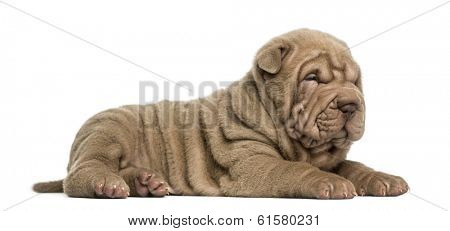 Side view of a Shar Pei puppy lying down, dozing, isolated on white
