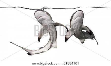 Two Blacktip reef sharks swimming up to the surface, viewed from below, Carcharhinus melanopterus, isolated on white