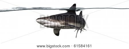 Blacktip reef shark swimming at the surface, Carcharhinus melanopterus, isolated on white