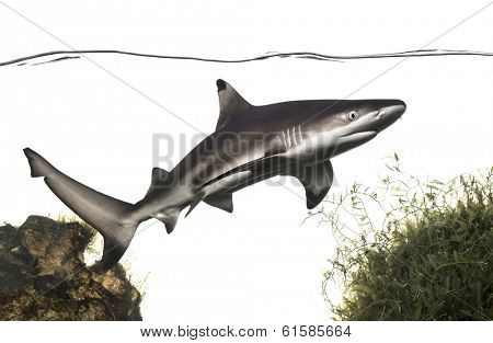 Blacktip reef shark swimming under water line, among plants, Carcharhinus melanopterus, isolated on white