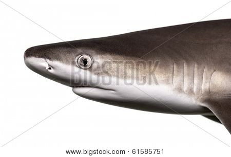 Close-up of a Blacktip reef shark's profile, Carcharhinus melanopterus, isolated on white
