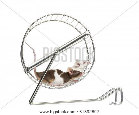Side view of Common house mice playing in a wheel, Mus musculus, isolated on white