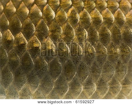 Macro of a Crucian carp skin, Carassius carassius, isolated on white