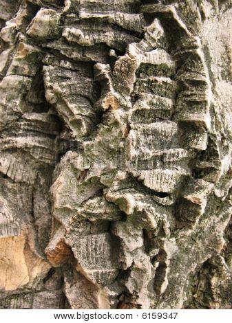 The bark  of Amur cork tree (Phellodendron amurense)