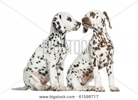 Dalmatian puppies sitting, sniffing each other, isolated on white