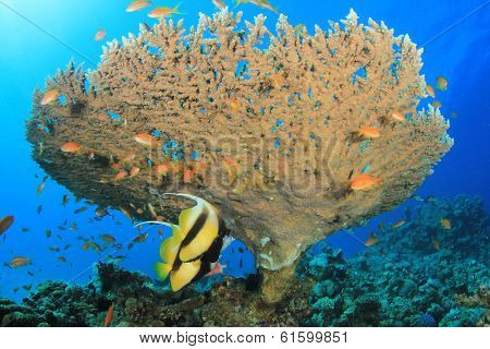 Table Coral and pair of Red Sea Bannerfish