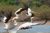 Great White Pelicans (Pelecanus onocrotalus) taking off poster