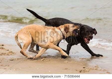 Two Labrador Retriever Dogs Playing On The Beach