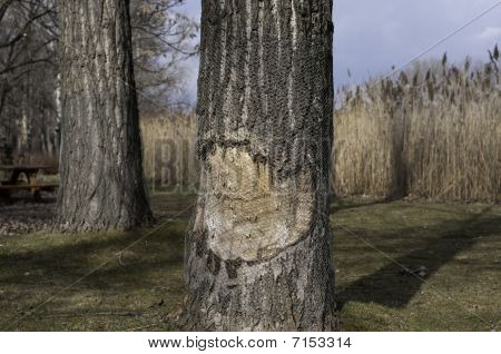 Tree With Caries