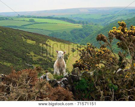 Little Lamb In Exmoor Valley, England