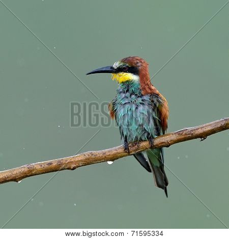 european bee-eater (Merops Apiaster) in natural habitat in rainy day poster