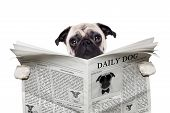 pug dog reading a the news on the newspaper isolated on white background poster