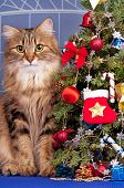Beautiful siberian cat near Christmas spruce with gifts and toys over blue background poster