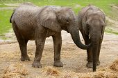 African elephants image over clay soil with grass in background poster