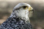 carnivore, beautiful white falcon with black and gray plumage poster