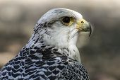 prey, beautiful white falcon with black and gray plumage poster