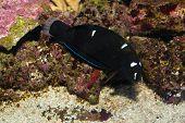 Black Corris Wrasse (Coris gaimard) in Aquarium against reef background poster