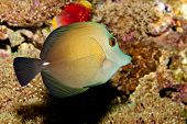 Scopas or Twotone Tang in Coral Reef Aquarium poster