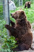 A North American grizzly bear (Ursus arctos) sits in captivity looking through a fence. poster