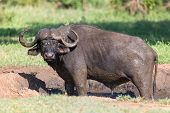 Cape buffalo mud play in mud to cool down and protect from insects poster