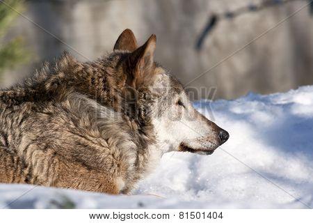 An old wolf female lying on fresh snow.