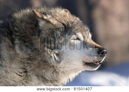 An old howling wolf male on cold air.