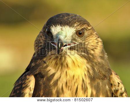 Falcon's Head