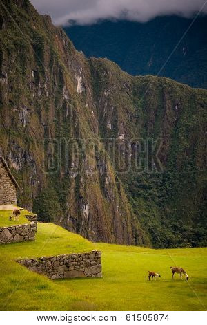 Alpacas Grazing On The Grasses Of Machu Picchu In Peru