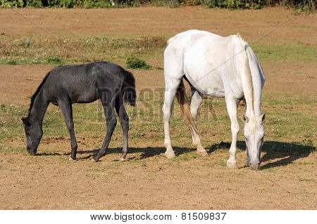 Foal With A Mare Grazing On Summer Meadow Rural Scene