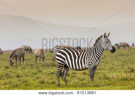 Zebra In National Park. Africa, Kenya