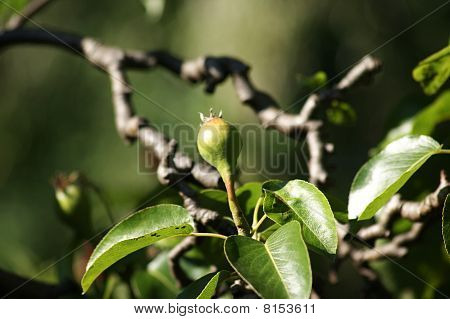 Pear New Growth
