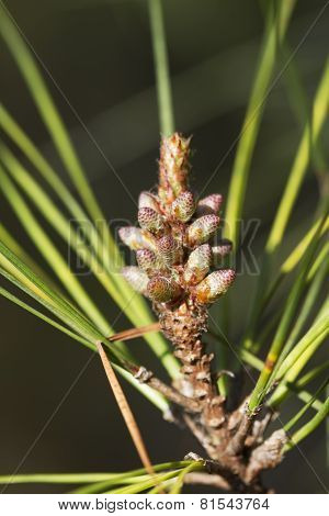 Ponderosa Pine Trees New Growth