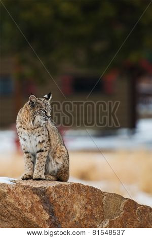 Colorado Bobcat
