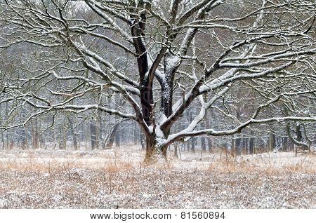 Old Oak Tree In Snow During Winter