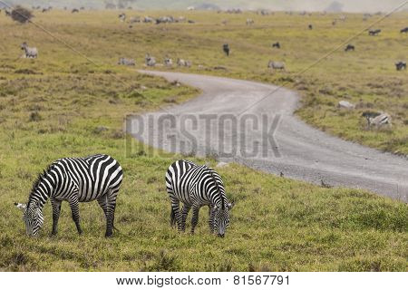 Zebras in Ngorongoro conservation area Tanzania, Africa poster
