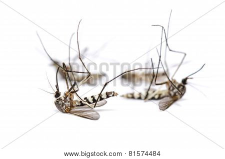 Dead Mosquito Group Isolated On White Background