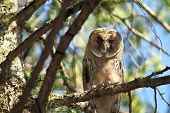 juvenile long eared owl standing on a branch ( Asio otus ) poster