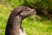 A close up photo of a European Otter poster