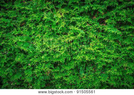Cedar Leaves Hedge Wall Background