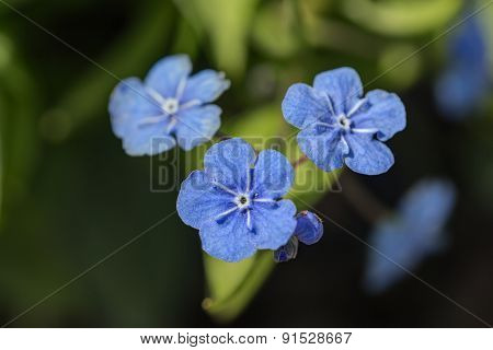 Blue Flowers Close Up
