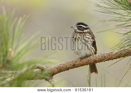 Female Rose-breasted Grosbeak Perched On A Pine Branch