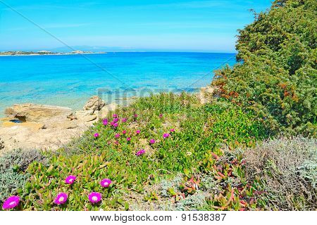 Pink Flowers By The Sea In Capo Testa