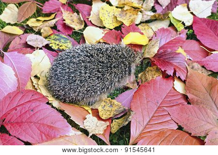 Little Forest Hedgehog On A Background Of Bright Autumn Leaves