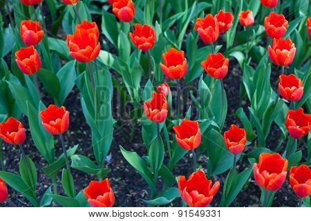 Background Of Red Tulips